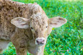 Baby cow in green field Royalty Free Stock Images