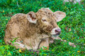 Baby cow in green field garden Stock Photos