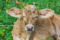 Baby cow in green field garden Stock Image