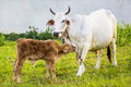 Baby cow with mom in green farm Royalty Free Stock Photos