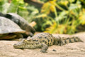 Baby crocodile living with turtles soft focus on eyes shot near oudtshoorn south africa Royalty Free Stock Images