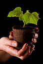 Baby cucumber plant female hands close up holding a isolated on a black background Stock Image