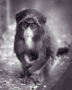 Baby de brazza的monkey ii 免版税图库摄影