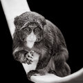Baby De Brazza`s Monkey VII Royalty Free Stock Photo