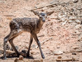 Baby deer cervus elaphus in summer in a dry forest in a hot da and sunny day spain Stock Image