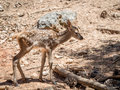 Baby deer cervus elaphus in summer in a dry forest in a very h hot and sunny day spain Stock Image