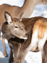 Baby deer fawn in winter Stock Image