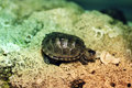 Baby Diamondback Turtle Royalty Free Stock Image