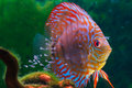 Baby discus fish swimming in freshwater fishes are native to the amazon river Stock Photo