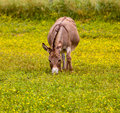 Baby donkey in meadow eating flowers Royalty Free Stock Image
