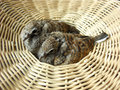 Baby dove in basket doves or zebra doves or morning doves Royalty Free Stock Images