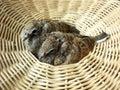 Baby dove in basket doves or zebra doves or morning doves Royalty Free Stock Images