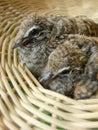 Baby dove in basket doves or zebra doves or morning doves Stock Photography
