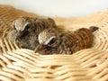 Baby dove in basket doves or zebra doves or morning doves Royalty Free Stock Image