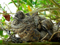 Baby doves or zebra or morning Royalty Free Stock Images