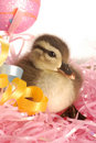 Baby duck at easter Stock Photo