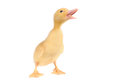 Baby duck Royalty Free Stock Photo