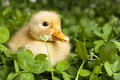 Baby duckling in clover Stock Photography