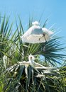 Baby Egrets fighting Royalty Free Stock Photo
