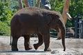 Baby Elephant Royalty Free Stock Photo