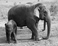 Baby elephant Stock Photography