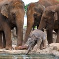 Baby elephant with adults Stock Photos