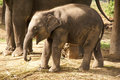 Baby elephant in chains nepal Stock Photography