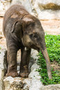 Baby elephant in chiangmai zoo thailand northen Stock Photo