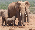 A baby elephant feeding in Addo Safari Park Royalty Free Stock Photo