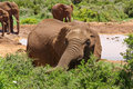 Baby elephant feeding on watering-place in savanna Stock Image