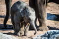 Baby elephant in front of mother playing with stick Royalty Free Stock Images