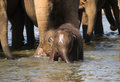 Baby elephant havig bath - Elephas maximus Stock Image