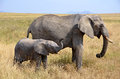 Baby Elephant with Mother Standing Standing Royalty Free Stock Photography