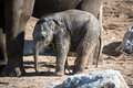 Baby elephant with mothers legs in background Royalty Free Stock Image