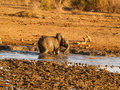 Baby elephant playing in waterhole in South Africa Royalty Free Stock Photo