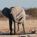 Baby elephant refreshes watering hole etosha national park namibia Royalty Free Stock Photos