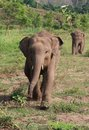 Baby elephant running along taken in thailand sanctuary Royalty Free Stock Photos
