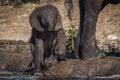 Baby elephant struggles along riverbank beside mother Royalty Free Stock Image
