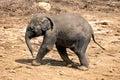 Baby elephant walking over rocky plains Royalty Free Stock Image