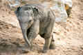 Baby elephant walking through sand and rocks Royalty Free Stock Photos