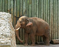 Baby Elephants Royalty Free Stock Image