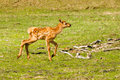 Baby Elk Royalty Free Stock Photo