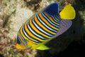 Baby emperor angel fish Royalty Free Stock Photo