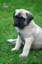Baby English Mastiff Portrait Royalty Free Stock Photography