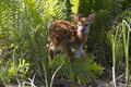 Baby fawn a young whitetail walking in fern plants by river s edge still has spots on back Stock Images