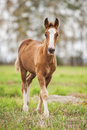 Baby foal of draught horse Royalty Free Stock Photo