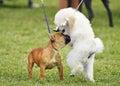 Dieťa francúzština hračka pudel šteňatá socializácie pes ukázať