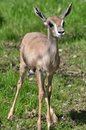 Baby gazelle Stock Photos