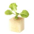 Baby geen oak lettuce Royalty Free Stock Photo