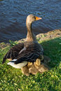 Baby geese under mom's wing Royalty Free Stock Photography
